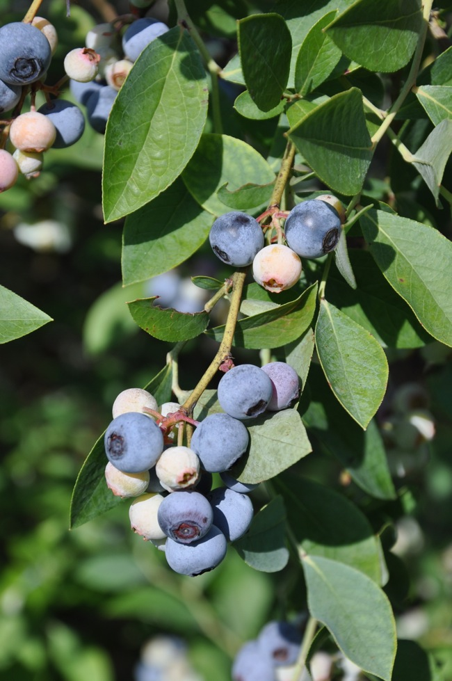 Blueberries on the bush at ThePieAcademy.com